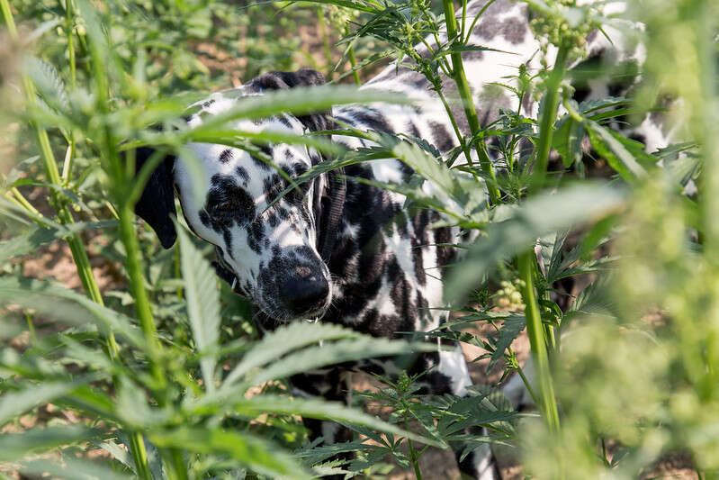 Hemp oil benefits for dogs.